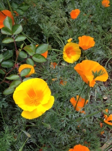 California poppies make a great, drought tolerant base and change color as the season progresses!
